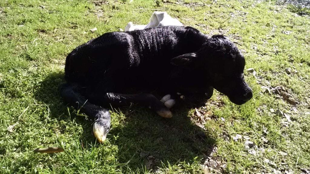 011215 Heifer Calf