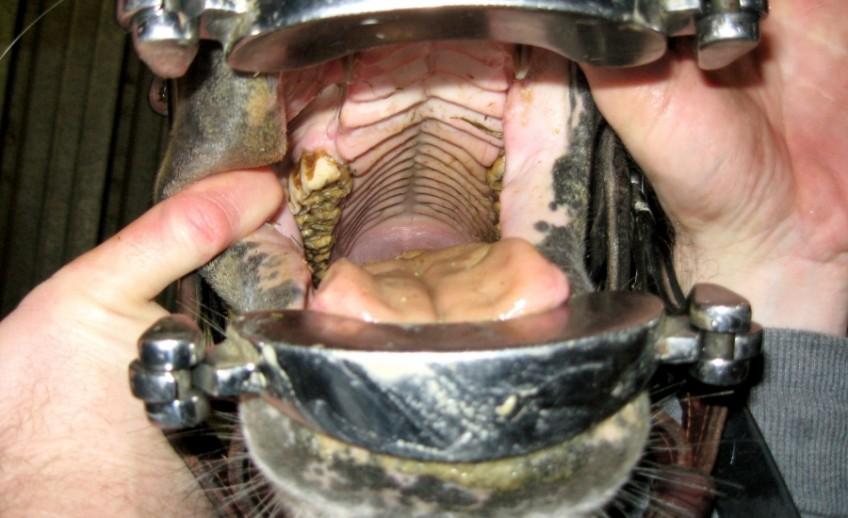 equine dental exam