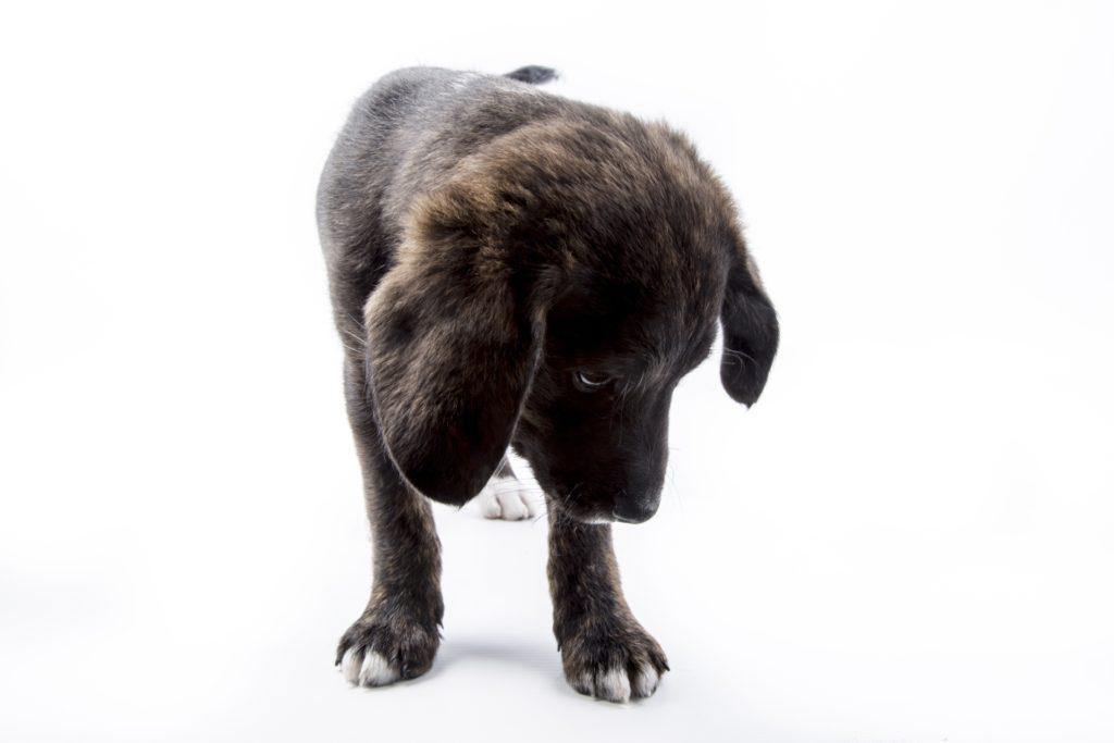 Rat Poison - Puppy Dog - Mobile Vet Service